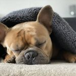 When-To-Euthanize-A-Dog-With-Hemangiosarcoma