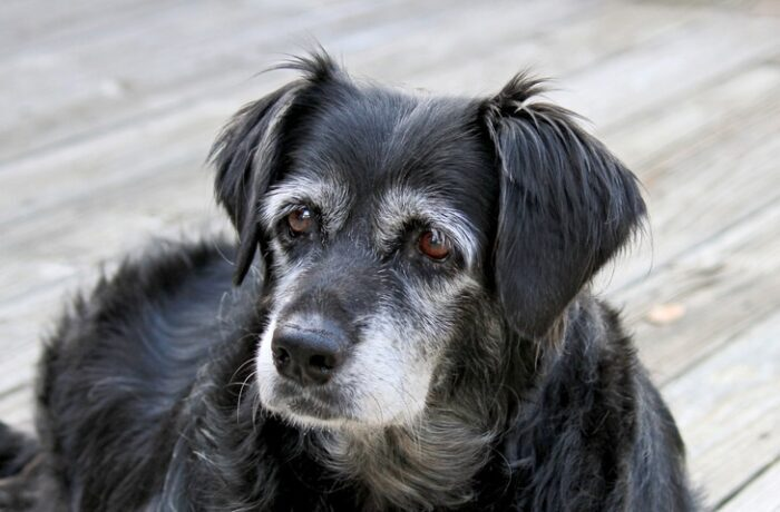 a-very-old-dog-e1591471138225-4422465-5265077
