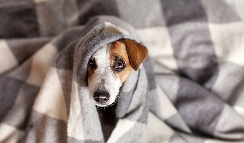 dog-is-flabby-colds-are-not-uncommon-in-dog-diseases-1958027-9249002