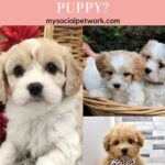 Everything About Cavachon Puppies
