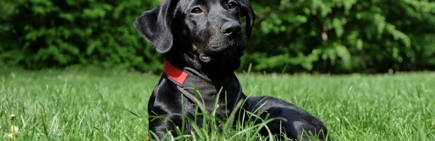 how-much-does-a-black-lab-cost-2-2483478-1748092