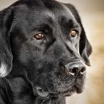 How-Much-Does-A-Black-Labrador-Cost-The-true-about-the-costs