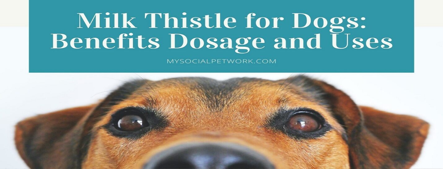 milk-thistle-for-dogs_-benefits-dosage-and-uses-4027830-e1593547131419-4432101