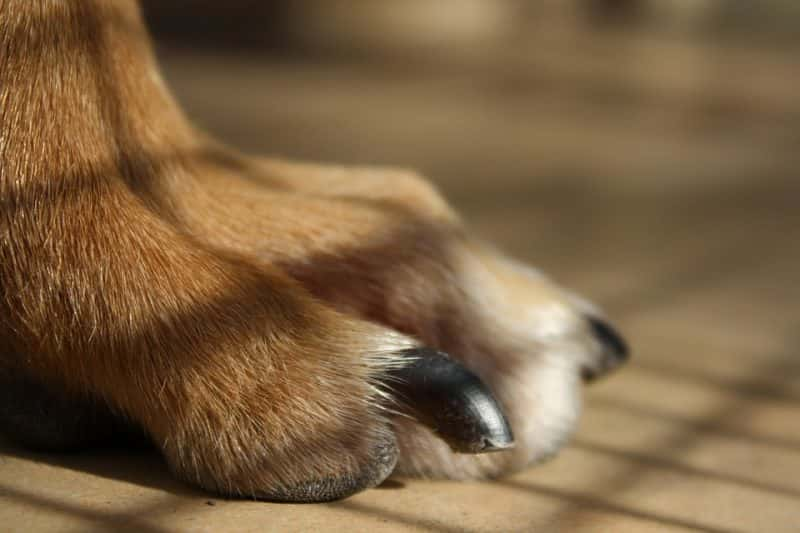 how-do-i-sedate-my-dog-to-cut-his-nails