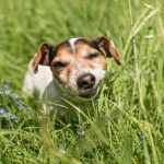 Why Do Dogs Eat Grass and Vomit