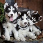 10 Amazing Tips on Training a Husky Puppy - quick results