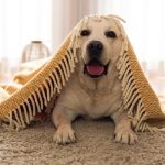 Amazing Tips on How to Remove Dog Smell From Carpet